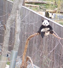 Tai Shan And His Favorite His River Birch Tree (Dan Dan The Binary Man) Tags: bear park white black animal animals smithsonian dc washington panda bears tai national nationalzoo endangered shan fonz pandas pu taishan zoological butterstick i500 pandasunlimited thebiggestgroup snzp interstingness261 explorer261aug152006