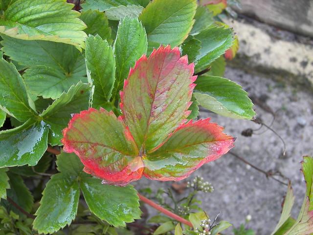 Autumn leafs ... autumn comes ...