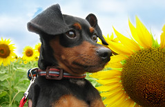 Mr. Sunshine (Nadine Miranda) Tags: flowers field sunflowers miniaturepinscher minpin pinscher