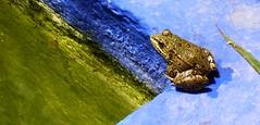 Rana en estanque - Jardin Majorelle - Marrakech - Marruecos (jose_miguel) Tags: blue espaa naturaleza verde green water colors miguel azul garden spain agua jose jardin colores frog morocco maroc marrakech majorelle estanque marrakesh rana marruecos soe marraquech shieldofexcellence