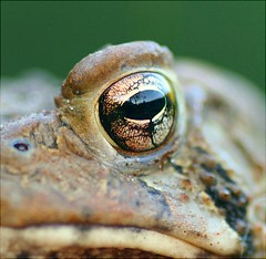 Good morning Mr. Toad (Lida Rose) Tags: macro nature amphibian toad lidarose interestingness22 specnature lidaperfetto abigfave explore27aug06