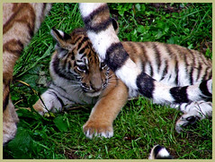 little tiger staying close to mum (patries71) Tags: tiger tijger ouwehandsdierenpark amurtiger s5600 patries71 amurtijger