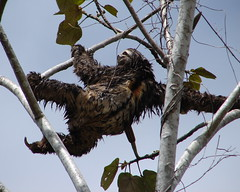 Three Toed Sloth (Alexander Yates) Tags: travel nature animal topv111 ilovenature amazon rainforest bolivia sloth wildanimal writer novelist threetoedsloth madidi tuichi 10faves chalalan bolivianamazon specanimal animalkingdomelite tuichiriver travelwriter alexanderyates