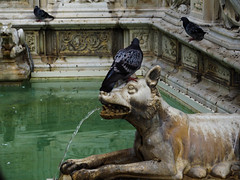 Contradictions in life (bulgit) Tags: pigeon stone woof water fountain architecture sculpture contradiction harmony siena italy