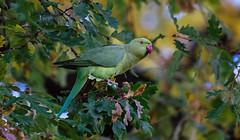 a Rose Ringed Parakeet in Paris / Perruche  collier dans Paris (Franck Zumella) Tags: rose ringed parakeet perruche collier paris vers rouge vent wind tempete bird