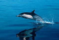 Freeze Frame (fotolen) Tags: love nature marine dolphin dolphins common mammals specanimal animalkingdomelite anawesomeshot fiveflickrfavs