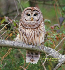 Barred,Owl by George W Bowles Sr (georgesr58) Tags: county lake nature scott george searchthebest quality w hunting indiana owl rapture hardy bowles barred ias specanimal abigfave anawesomeshot avianexcellence