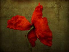 """""""Butterfly"""" / Wild poppy (AlexEdg) Tags: stilllife flower art cyprus 2006 poppy photomontage remake postprocessing anawesomeshot alexedg alledges"""