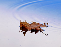 Dreaming in Autumn (JacquiTnature) Tags: autumn reflection fall leaf sycamore ripples shenandoahriver autumnleaf sycamoreleaf floatingautumnleaf