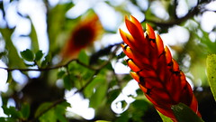 "Bromélia ""Rabo-de-Peixe"" / Bromeliad ""Fish-Tail"" (ricardo.baena) Tags: brazil nature brasil natureza bromeliad paranapiacaba bromélia notreatment semtratamento a6000"