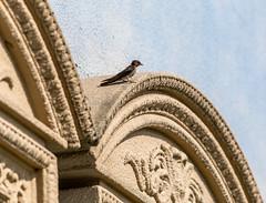 (Digital_trance) Tags: bird animal swallow