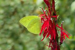 Cloudless Sulphur (Phoebis sennae), Bath Springs, Tennessee (kmalone98) Tags: butterflies cloudlesssulphur whitesandsulphurs