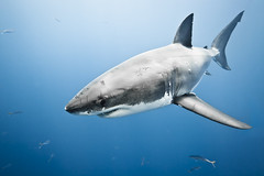 Great White Sharks (shark.hunt) Tags: mexico shark greatwhiteshark guadalupeisland