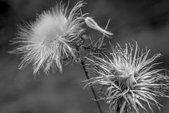 dried floral forms, Owl's Head, Maine, nikon D40, nikon nikkor 55mm f-3.5, 9.15.15 (steve aimone) Tags: flowers blackandwhite macro floral monochrome weeds maine monochromatic owlshead midcoast primelens nikond40 nikonprime driedfloral nikonnikkor55mmf35 floralforms
