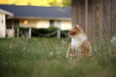 3B5A0905 (adameros) Tags: yard cat feline tabby 85mm dandelions petzval