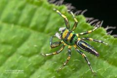 Jumping spider (Cosmophasis sp.) - DSC_4735 (nickybay) Tags: macro spider jumping singapore mandai salticidae cosmophasis mandaitrack7