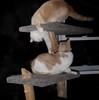 Rude Awakening (I Flickr 4 JOY) Tags: cats cat tessa nightmare littlebrother sole pest cattree weehours rudeawakening wokenupplaywithme