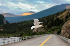 Copper River Seagull (Philip Kuntz) Tags: bridge sunset alaska evening dusk seagull copperriver chitina