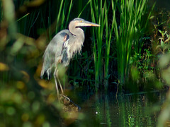 Great Blue Heron (creditflats) Tags: morning blue green heron pen canon reeds lens fishing beak feather conservation gear olympus shore area legacy greatblueheron adapted fd 200mm creditriver ep5 creditvalley
