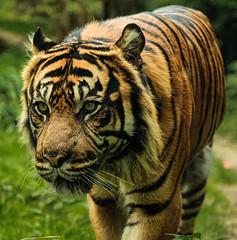 Beludru_Sumatra-Tiger (Seahorse-Cologne) Tags: cat sumatra zoo tiger bigcat katze raubkatze raubtier zookrefeld
