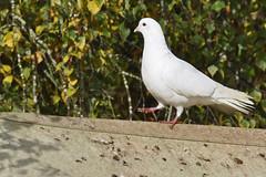 One Small Step (Chris Mullineux) Tags: bird nikon dove doo whitedove kirtlington mullineux