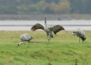 Common Cranes - Grus grus
