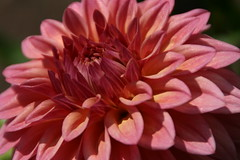 IMG_1003 (krissos.photography) Tags: dahlia flowers flower nature minnesota landscape photography arboretum dahlias naturephotography 2015 seasonsummer minnesotalandscapearboretum minnesotaarboretum monthjuly missamara dahliamissamara missamaradahlia