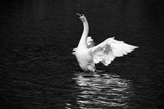 (-- brian cameron --) Tags: blackandwhite bw toronto reflection water birds blackwhite highpark swans fowl waterfowl waterbirds cygnusolor cygnus grenadierpond familyanatidae 550d cygnini