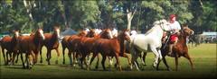 La madrina grandota (Eduardo Amorim) Tags: horses horse southamerica argentina criollo caballo cheval caballos cavalos pferde herd cavalli cavallo cavalo gauchos pferd ayacucho chevaux gaucho cavall  amricadosul gacho amriquedusud provinciadebuenosaires  gachos  sudamrica suramrica amricadelsur sdamerika crioulo caballoscriollos criollos  tropillas buenosairesprovince americadelsud tropilhas tropilla crioulos cavalocrioulo americameridionale tropilha caballocriollo eduardoamorim cavaloscrioulos