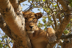 Lioness Resting in a Tree (Image Catalog) Tags: tree animal fur paw outdoor lion whiskers bigcat lioness publicdomain zoology pantheraleo