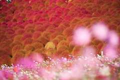 20151025-DS7_6717.jpg (d3_plus) Tags: park street sky plant flower nature japan nikon scenery hill jr daily flowerbed telephoto bloom  amusementpark tele streetphoto nikkor    dailyphoto  ibaraki  thesedays 80200mm 80200 flowergarden      8020028 80200mmf28d   80200mmf28    80200mmf28af kochia d700 nikond700  aiafzoomnikkor80200mmf28sed