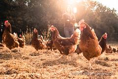2015_10_12_Krust_0378.jpg (Christian.Patrick) Tags: alsace production poule ferme lieux oeuf hautrhin krust eteimbes fermedeloréedubois