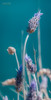 [ #55 :: 2015 ] (Salva Mira) Tags: sea mar mediterranean lavender mediterráneo lavanda salva ifach paísvalencià mediterrani espígol mediterrània penyal penyaldifach salvamira salvadormira