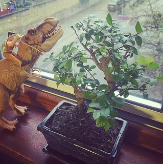 I can be a bit impulsive but I've started a new relationship. Please welcome my new flat mate Minitree the Bonsai. Lets hope i don't kill it thanks @MackayDesigns for this amazing #bonsai. #bonsaitree #jurasicworld #trex #aquaman