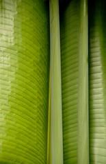 ravenala abstract (meg99az) Tags: leaf miami banana birdofparadise musaceae ravenalamadagascariensis ravenala travelerspalm streliziaceae