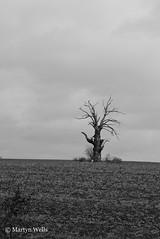Day 322-365 (Herb287) Tags: blackandwhite white black tree monochrome field clouds landscape mono landscapes blackwhite nikon overcast 365 essex braintree d60 day322 lightningtree braintreeessex day322365 365the2015edition 3652015 18nov15
