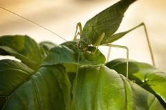 Basil Thief - Voleur du Basilic (JamesRKC) Tags: france colour detail macro insect cricket gard uzes