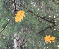 Last leafs (EvelienNL (Noa's Mommy)) Tags: autumn trees tree forest oak bomen colours herfst boom blad blaadjes canopy leafs bos redoak herfstkleuren bladeren herfstblad herfstbladeren quercusrubra sooc amerikaanseeik