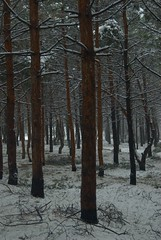 Straight and Bent (melleus) Tags: park trees winter white snow cold nature pine outdoors grey freeze d200 imagemagick dcraw