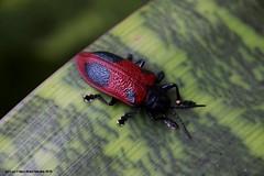 Coraliomela quadrimaculata (Luiz Filipe Varella) Tags: brasil klein do insects inseto filipe beetles sul luiz brasileiras varella besouros colepteros espcies quadrimaculata coraliomela baratadocoqueiro