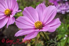 Cosmos (Guy_D_2010) Tags: flower nikon flor blumen blomma quintaflower bunga  fiore blomst gul virg hoa bloem lill blm iek  kwiat blodyn   lule kukka d90   cvijet  blth cvet  zieds  gl kvtina kvetina floare  languageofflowers   fjura   nikoniste pixelistes nikonfrance flowersarefabulous wonderfulworldofflowers nikonflickraward  voninkazo