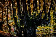 MOTZA1 (juan luis olaeta) Tags: canon canoneos60d photoshop lightroom paisages landscape bosque forest basoa hayedo pagoa otzarreta otzarrate bizkaia paisvasco euskalherria basquecountry