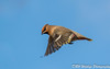 Fly past (davidrhall1234) Tags: wildlife world waxwing birds bird birdsofbritain migrant flight feather nature nikon nikond7100