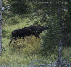 "Cow and calf Moose along Glen Creek • <a style=""font-size:0.8em;"" href=""http://www.flickr.com/photos/63501323@N07/31203830543/"" target=""_blank"">View on Flickr</a>"