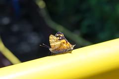Butterfly at Foz do Iguaçu National Park, Brazil (mattk1979) Tags: fozdoiguaçu iguazu nationalpark falls waterfall water river tropical sun paranástate brazil butterfly yellow