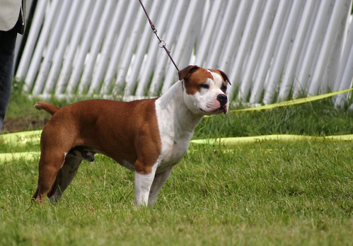 American Staffordshire Terrier at dog show