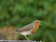 #Robin (jule_s1) Tags: robin