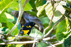 Yellow-rumped Cacique / Cassique cul-jaune.. Manu/Peru (geolis06) Tags: geolis06 pérou peru perú amériquedusud southamerica manu amazonie amazonia rainforest jungle forêt forest madrededios biospherereserve parcnationaldemanú manúnationalpark 2016 patrimoinemondial unesco unescoworldheritage unescosite cochamachuwasi pantiacollatour nikon nikond7200 sigma sigma150600mmf563dgoshsmcontemporary neotropicalbird cassiqueculjaune cacicuscela yellowrumpedcacique caciquelomiamarilo cocha machuwasi