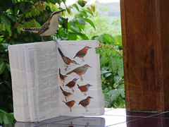 Mystery Bird (Surfishrink) Tags: nicaragua centralamerica rufousnapedwren fieldguide point campylorhynchusrufinucha