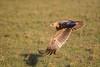 Tawny Eagle  (Aquila rapax) (Hector16) Tags: kenya2014willdlife olseki 2014 kenya masaimara mara hemingways narok ke